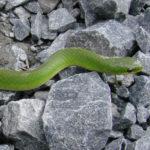 green_snake_1